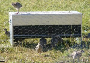 Dymond Feeder with poults feeding
