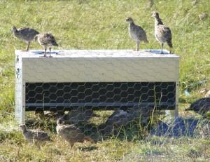 Dymond Pheasant Feeder - proven